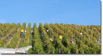 A vineyard slope